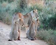 unieke-safari-reizen-vakantie-safarireizen-leeuw-Zuid-Afrika-Scenic-Travel-Zoetermeer