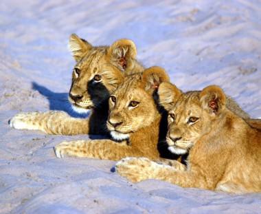 leeuwen welpjes tijdens Botswana Wildside tour via Scenic Travel - Zoetermeer