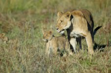 leeuwin in Moremi tijdens Botswana Wildparks tour via Scenic Travel - Zoetermeer