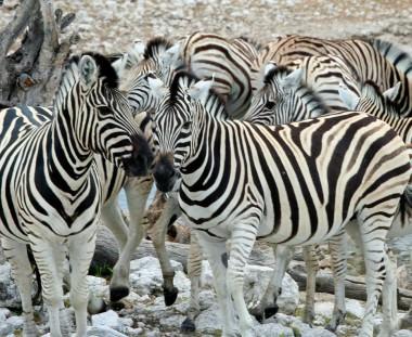 bezoek aan Etosha NP tijdens Cape to Victoria Falls tour Grand Explorer via Scenic Travel - Zoetermeer