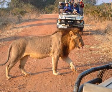 leeuwen spotten in Zambia tijdens Trade Route via Scenic Travel - Zoetermeer