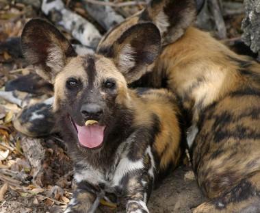 wilde honden in Zimbabwe tijdens de Game Trail tour via Scenic Travel - Zoetermeer