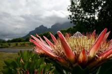 protea bloemen in Zuid Afrika tijdens Cape to Windhoek route via Scenic Travel - Zoetermeer
