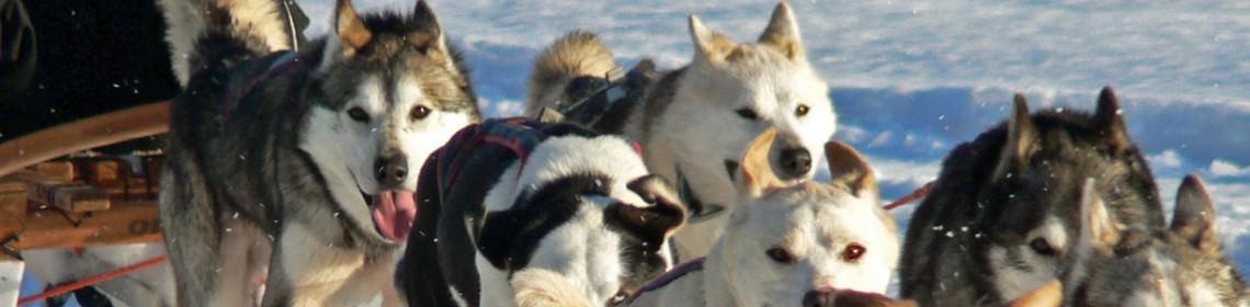 Een hondenslee tocht tijdens een van de wintersportreizen in Fins Lapland via Scenic Travel - Zoetermeer
