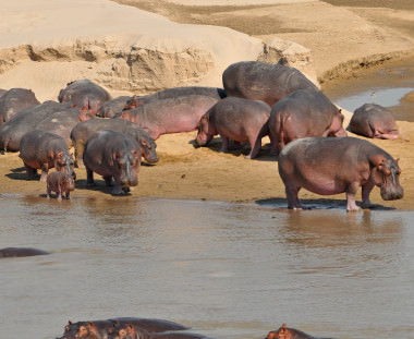 Nijlpaarden South Luangwa in Zambia, Scenic Travel, Zoetermeer