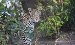 Op safari in Botswana
